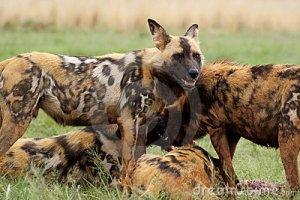 cani-selvaggi-che-si-alimentano-mi-leverò-piedi-la-protezione-7423098